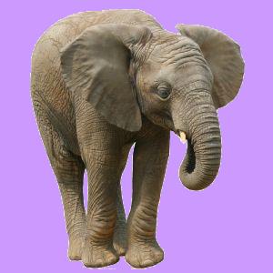 elephant tupe